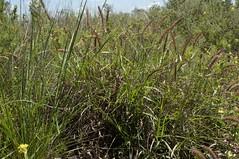 Cenchrus ciliaris plant4
