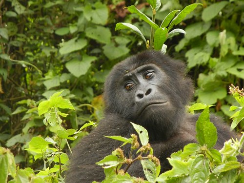 First eastern lowland gorilla