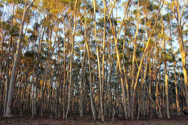Morning sun in the gum trees 2012-04-04(_MG_5733-5)