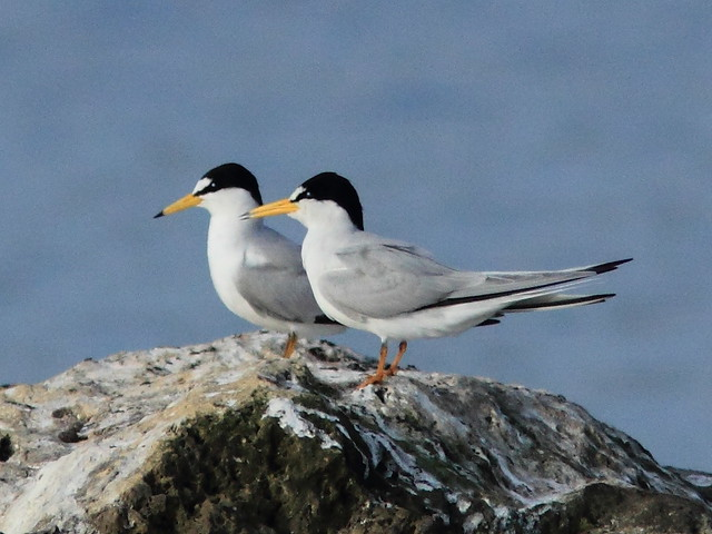 Least Terns 5-20120411