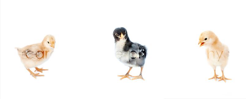 3_Chicks