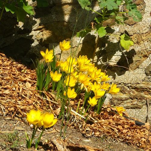 je ne sais pas quels sont ces crocus fleuris à cette saison, mais c'était magnifique by Claudie K