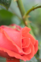 rose (旧古河庭園)