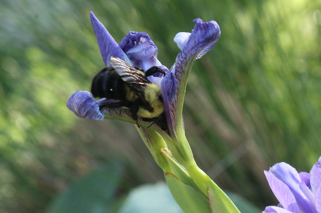 Industrious Bumblebee