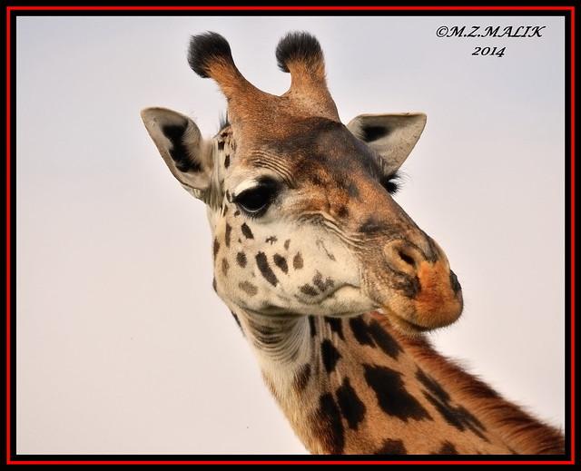 MASAI GIRAFFE (Giraffa camelopardalis tippelskirchii)......NAIROBI NAT. PARK......SEPT 2014