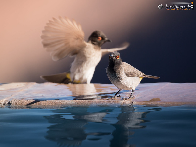 African Red-eyed Bulbuls (Pycnonotus nigricans)