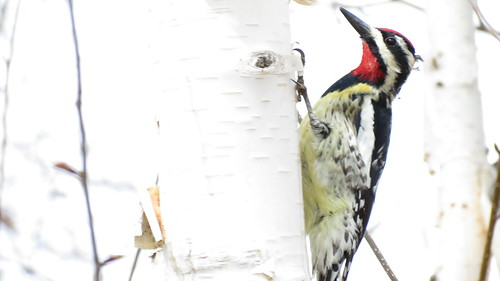 Pic Maculé ( Mâle ) - Yellow bellied Sapsucker ( Male )  Lasalle  16 Avril 2012....IMG_0606 by Diane G....Very slow because problem computer.