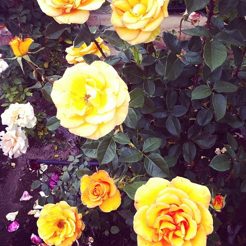 115/366 :: neighborhood roses