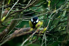 Great Tit In Bush