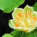 <p>Tulip Tree Flower<br /> <br /> Wow, I had no idea these things were so impressive looking.</p>