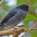 Slaty Flowerpiercer, Costa Rica (Reagan Smith)