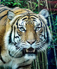 The Magnificent Malayan Tiger