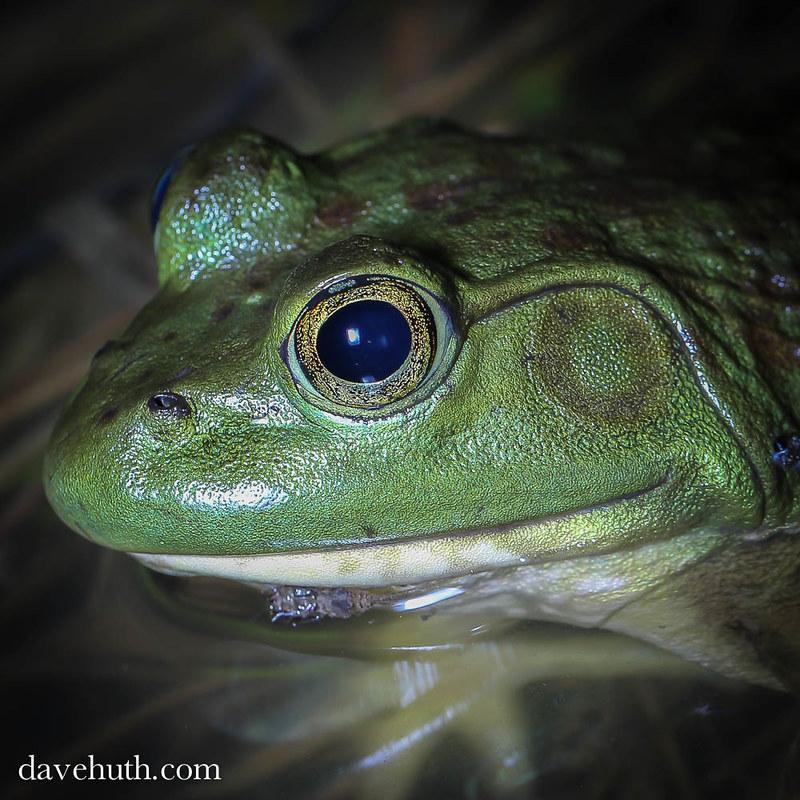 American Bullfrog (Rana catesbeiana) - female in pond shallows