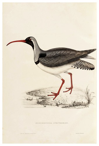 007-Ibidorhyncha Struthersii-A Century of Birds from the Himalaya Mountains-John Gould y Wm. Hart-1875-1888-Science Naturalis