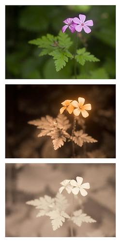 Herb Robert (Geranium robertianum) [Vis UV IR] by davidkennardphoto