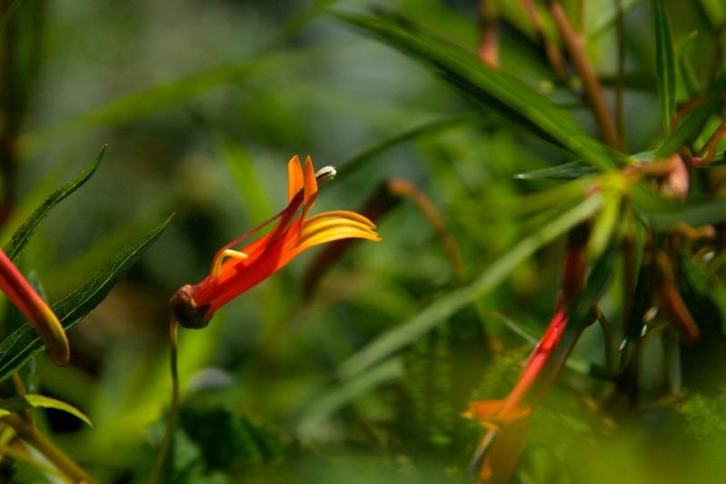 lobelia laxiflora  3371
