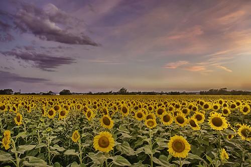 flowers sunset usa field night landscape spring nikon texas cloudy country sunflowers wildflowers springtime naturephotography d300 bloomingflowers nikond300 beautifulnaturephotos amazingnaturephotos rwigginphotos ronniewiggin