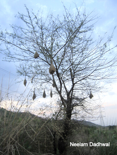 Weaver Birds' nest by contactme.neelam