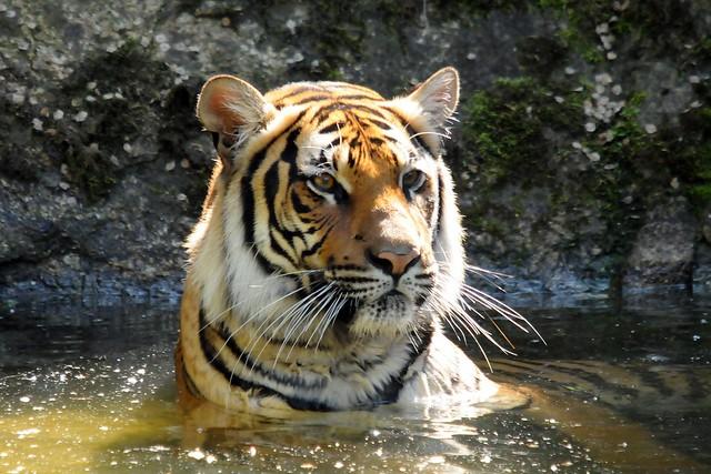 panthera tigris corbetti flickr photo sharing