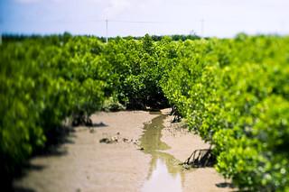 Mangrove @ Miyako island, Okinawa