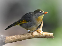 robin(0.0), european robin(0.0), finch(0.0), brambling(0.0), nightingale(1.0), animal(1.0), ortolan bunting(1.0), perching bird(1.0), branch(1.0), yellow(1.0), fauna(1.0), close-up(1.0), emberizidae(1.0), beak(1.0), bird(1.0), wildlife(1.0),