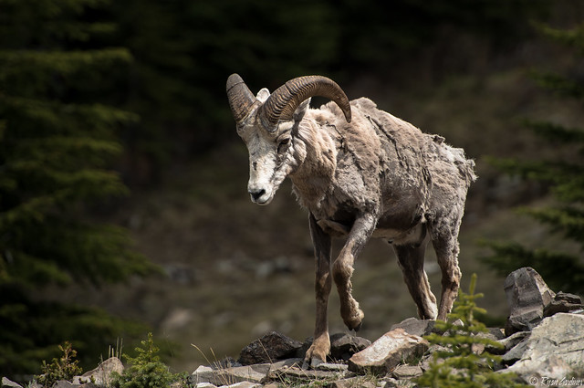 Canadian Rockies Wildlife