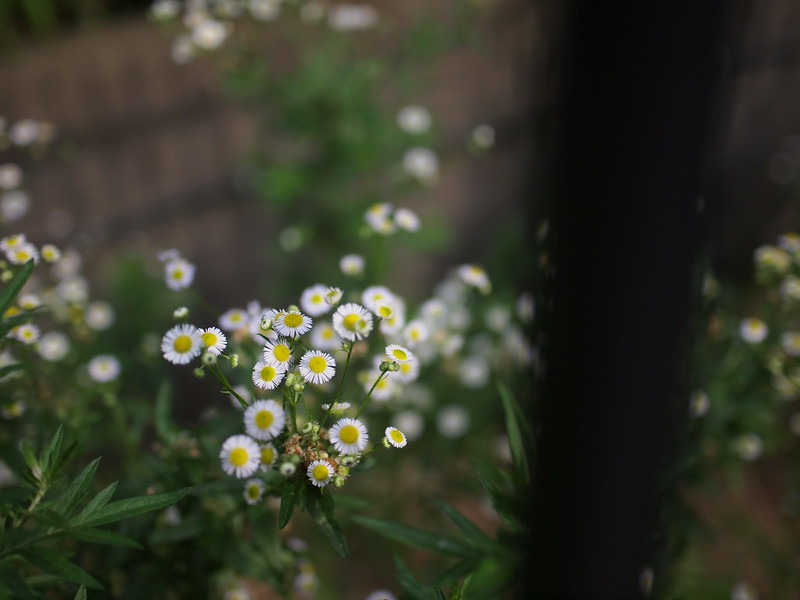 Eastern Daisy Fleabane through the Fence, ヒメジオン