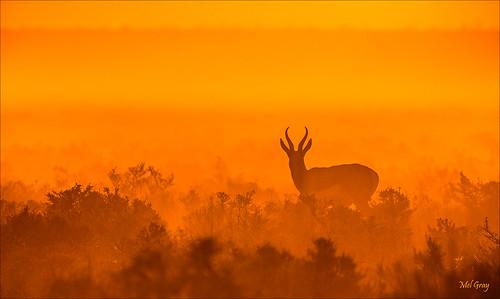 sunset animals etosha springbok