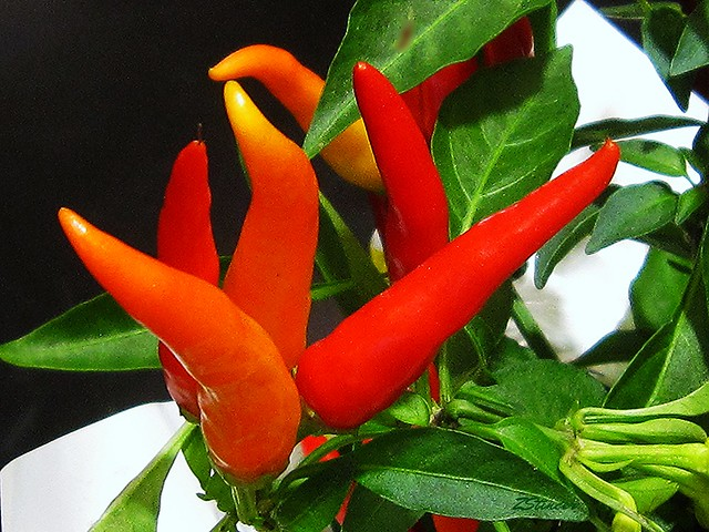 Red Chili Peppers - Plant | Flickr - Photo Sharing!