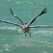 Pink-backed Pelican with four wings IMG_9754 by WildImages