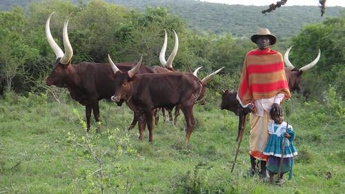 姆布羅湖國家公園管理處與鄰近社區成立的安哥拉牛保育協會合作,共同保育烏干達的原生物種。