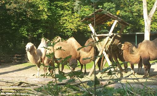 2013/10/07 - 11:06 - フタコブラクダ Bactrian camel
