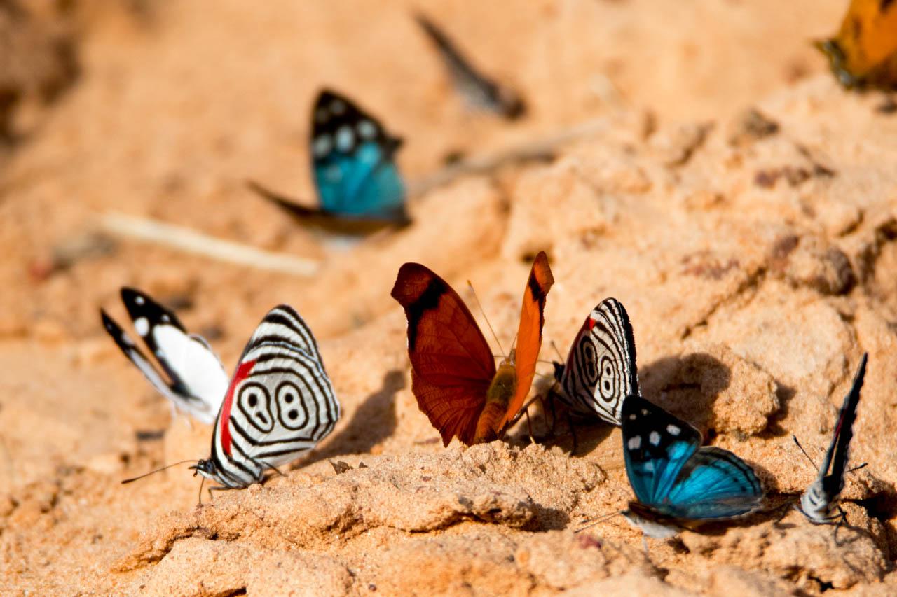 En los distintos senderos habilitados para recorrer también nos encontramos con gran variedad de mariposas. Aqui podemos observar a la especie Diaethria clymena, con el característico número 88. (Oscar Bordón)