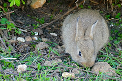 European Rabbit (Oryctolagus cuniculus) - Photo of Fleuré