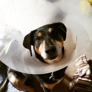 Off to work means Tut gets the cone of shame... he hates it! #dogstagram #rescueddogsofinstagram #coonhoundmix #muttstagram