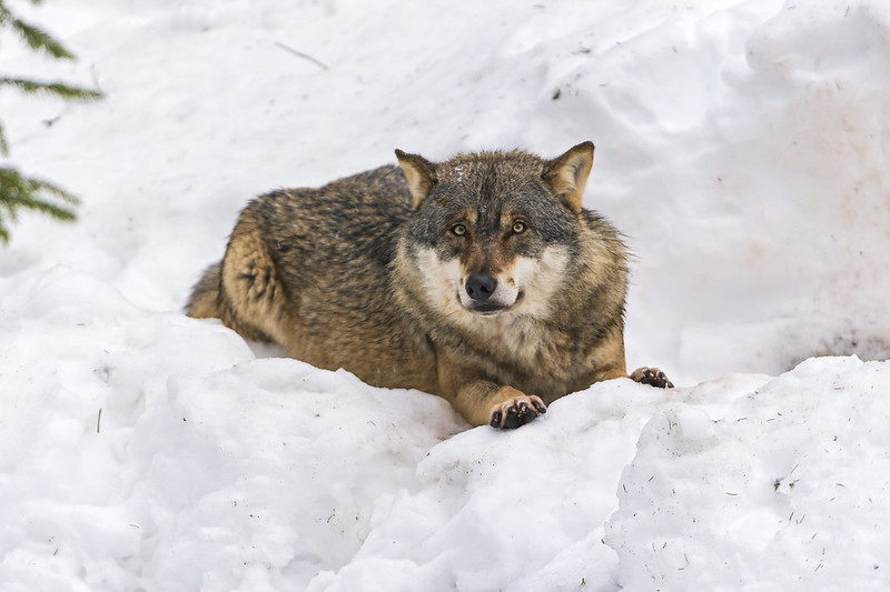 Wolf lying on the snow