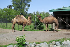 Camels drinking water (10)