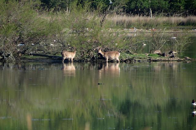 Deer on Brownsea Lagoon