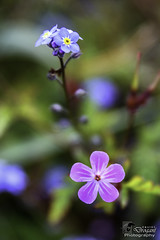 annual plant, flower, purple, plant, nature, lilac, macro photography, wildflower, flora, forget-me-not, close-up, petal,