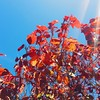 Bright leaves & bright sky in #pointloma