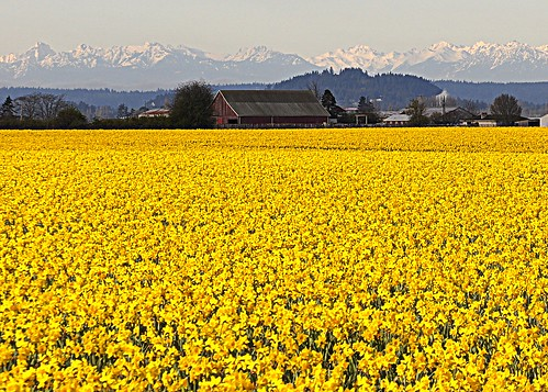 04-14-12 Olympics With Daffodils by roswellsgirl