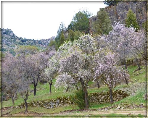 Almendros en el Villar de Villel de Mesa