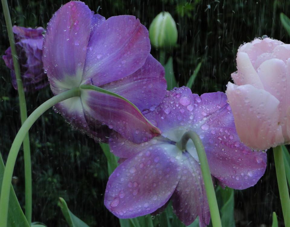 77-21apr12_3892_Botanical_garden_tulip