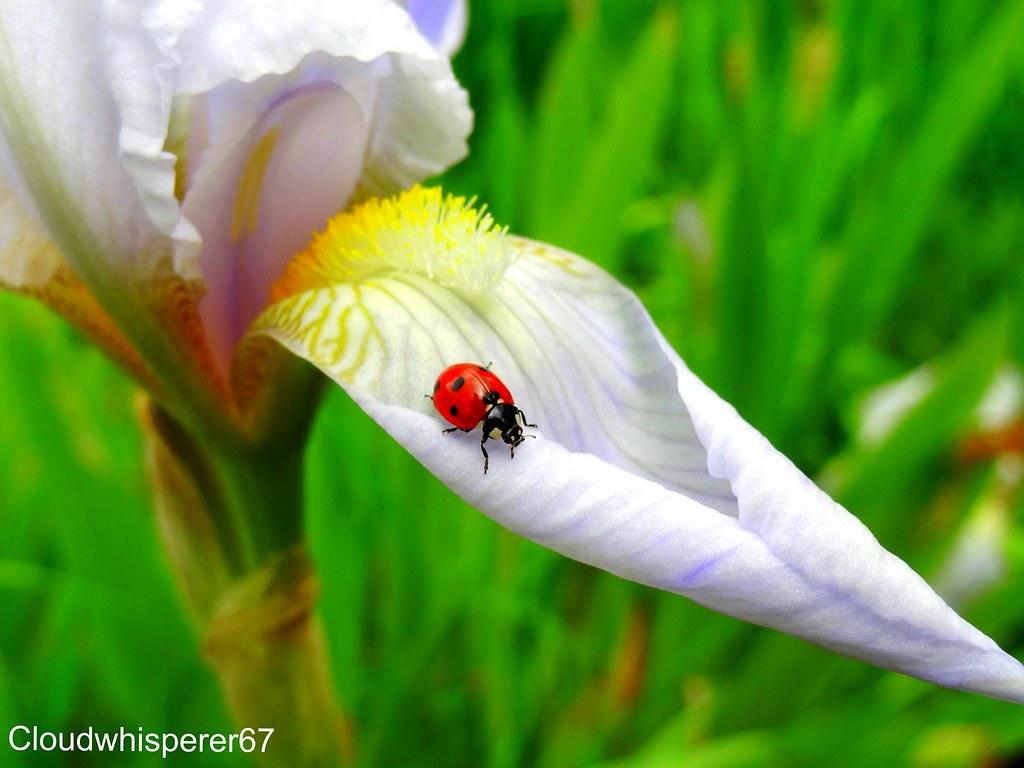 Ladybug Wandering on a White Iris - Coccinelle déambulant sur un iris blanc