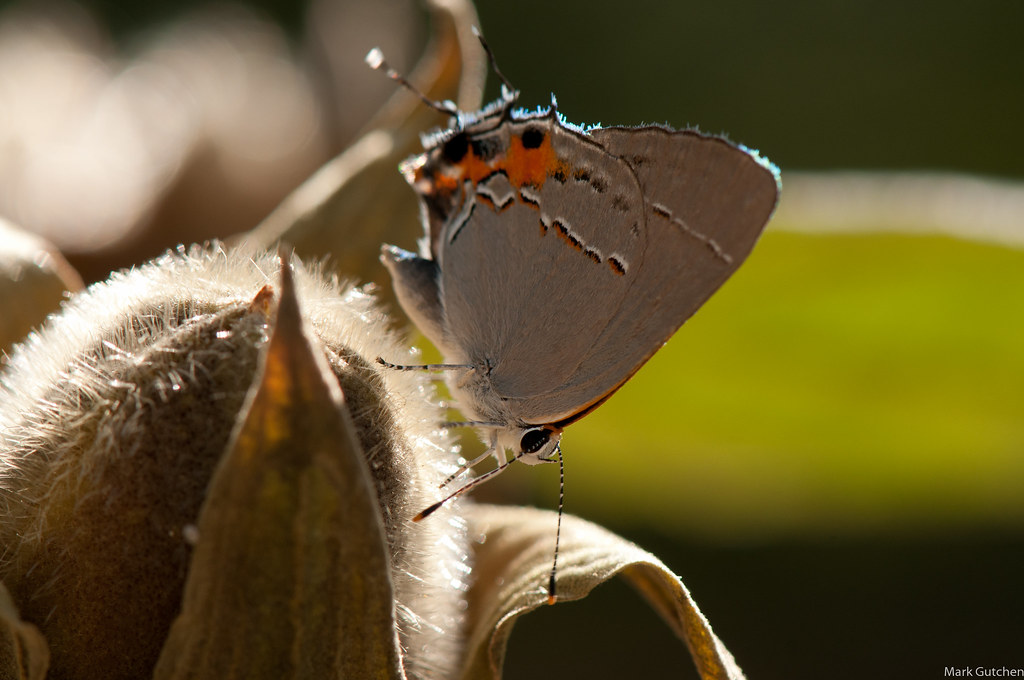 Gray Hairstreak; Columbia, MO