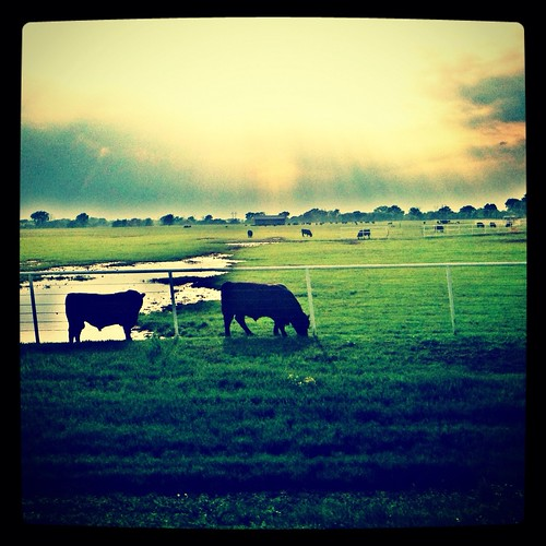 sunset cow iphoneography