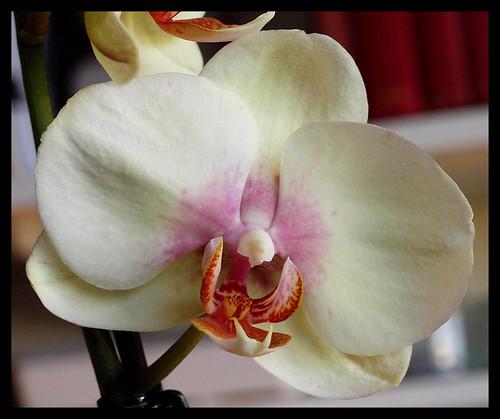 Cream Orchid