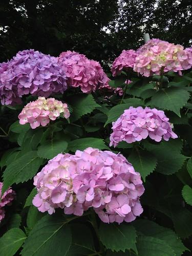 近所の紫陽花 (2012/6/19)