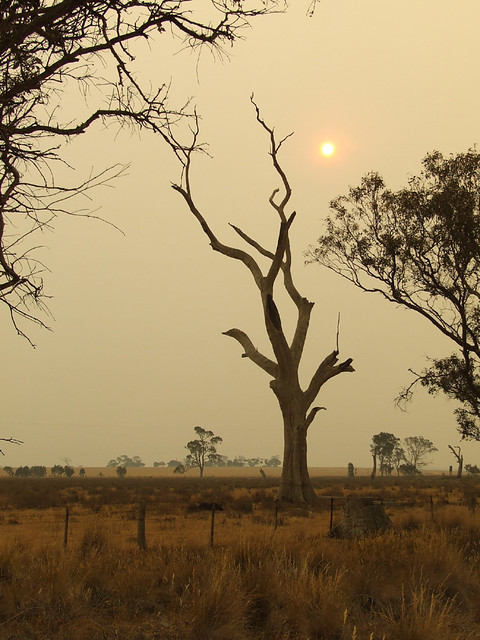 Dead gum tree during bush fire