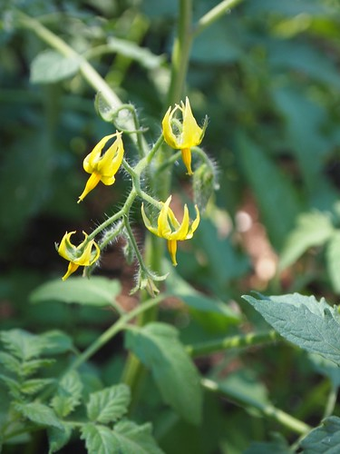 the tomatoes start their blooming